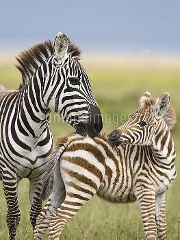 Burchell's Zebra (Equus burchellii) female grooming foal, Lake Nakuru, Great Rift Valley, Kenya