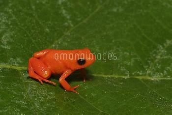 Golden Mantella (Mantella aurantiaca) on leaf, critically endangered, Andasibe, Madagascar