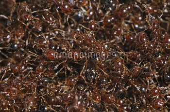 Red Imported Fire Ant (Solenopsis invicta) mass, introduced and invasive aggressive species, Switzer