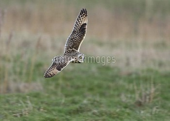 Short-eared Owl (Asio flammeus) flying, Belgium