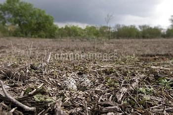 Killdeer (Charadrius vociferus) eggs in the nest, Texas