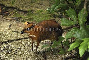 Lesser Malay Mouse Deer (Tragulus javanicus) in rainforest understory, Malaysia