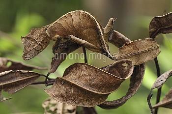 Fantastic Leaf-tail Gecko (Uroplatus phantasticus) mimicking leaves, Andasibe-Mantadia National Park