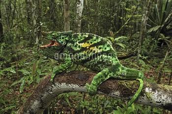 Parson's Chameleon (Calumma parsonii) male in defensive posture, Andasibe-Mantadia National Park, Ma