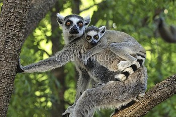 Ring-tailed Lemur (Lemur catta) female and baby, Berenty Private Reserve, Madagascar