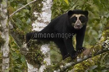 Spectacled Bear (Tremarctos ornatus) cub, Maquipucuna Nature Reserve, Ecuador