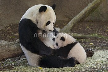 Giant Panda (Ailuropoda melanoleuca) mother and cub, native to China