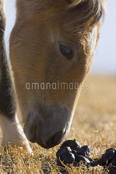 Mustang (Equus caballus) foal sniffing stallion dung pile, Pryor Mountain Wild Horse Range, Montana