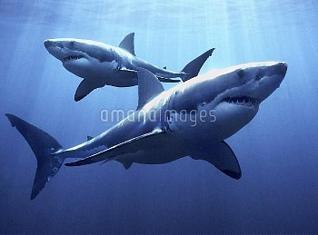 Great White Shark (Carcharodon carcharias) pair, Neptune Islands, Australia, *digital composite*