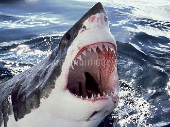 Great White Shark (Carcharodon carcharias) at surface with open mouth, Neptune Islands, Australia, *