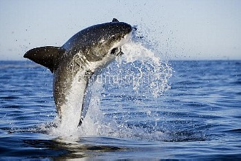 Great White Shark (Carcharodon carcharias) leaping out of the water with decoy, Seal Island, False B