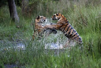 Bengal Tiger (Panthera tigris tigris) pair playing in water, Bandhavgarh National Park, India