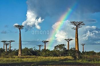 Grandidier's Baobab (Adansonia grandidieri) under rainbow, Morondava, Madagascar