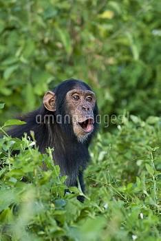 Chimpanzee (Pan troglodytes) rescued infant practing pant hooting, Ngamba Island Chimpanzee Sanctuar