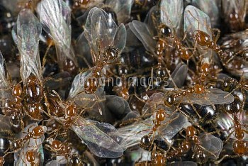 Red Imported Fire Ant (Solenopsis invicta) young virgin queens and males gather on the surface of th
