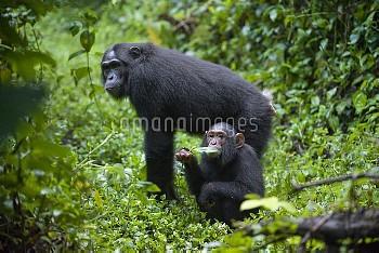 Chimpanzee (Pan troglodytes) mother and three year old baby, western Uganda