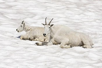 Mountain Goat (Oreamnos americanus) mother and kid cooling off on snow patch, Logan Pass, Glacier Na