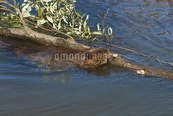 American Beaver (Castor canadensis) swimming with large cut log, Denali National Park, Alaska