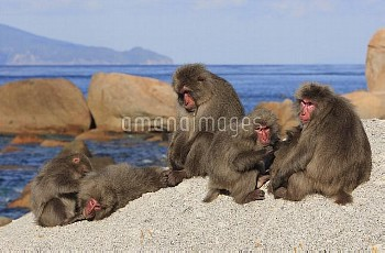 Japanese Macaque (Macaca fuscata) troop sunning on rocks, Yakushima Island, Japan