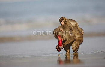 Japanese Macaque (Macaca fuscata) eating a sweet potato after washing it in the ocean, Kojima, Japan