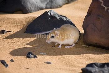 Jird (Meriones sp) resting in shadow of rock, Libya