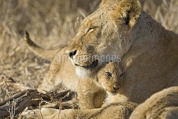 African Lion (Panthera leo) mother and three to four month old cub, Mala Mala Reserve, South Africa