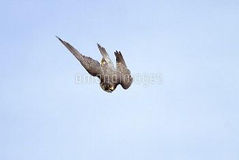 Peregrine Falcon (Falco peregrinus) stooping, Germany