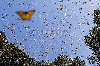 Monarch (Danaus plexippus) butterfly group flying, during a warm day when the overwintering period d