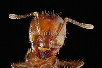Red Imported Fire Ant (Solenopsis invicta), also known as RIFA, worker portrait, highly invasive int