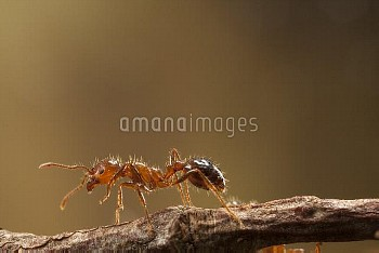 Red Imported Fire Ant (Solenopsis invicta) worker, an invasive introduced species, Texas