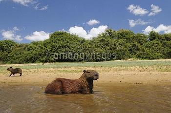 Capybara (Hydrochoerus hydrochaeris) cooling off in shallow water, Brazil