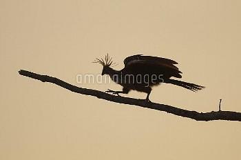 Hoatzin (Opisthocomus hoazin) climbing up branch, Amazon, Colombia