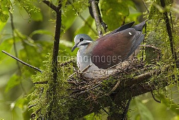 Sapphire Quail-Dove (Geotrygon saphirina) on nest, Ecuador