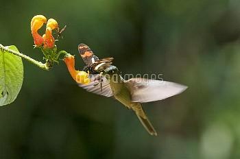 Fawn-breasted Brilliant (Heliodoxa rubinoides) hummingbird male and butterfly feeding on flower, Ecu
