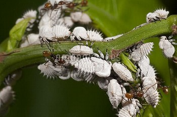 Treehopper (Membracidae) nymphs guarded by ants, Ecuador