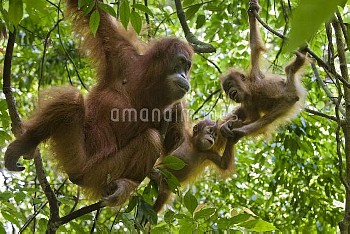 Sumatran Orangutan (Pongo abelii) mother with her one and a half year old baby playing with other fe