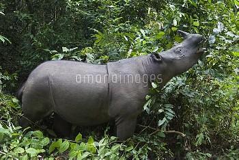 Sumatran Rhinoceros (Dicerorhinus sumatrensis) browsing, Sumatran Rhino Sanctuary, Way Kambas Nation