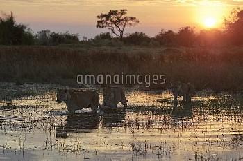 African Lion (Panthera leo) females crossing wetland at sunset, Botswana