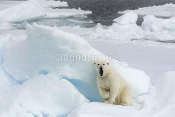 Polar Bear (Ursus maritimus) in defensive posture, Svalbard, Norway