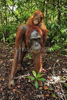 Orangutan (Pongo pygmaeus) female with young, Camp Leakey, Tanjung Puting National Park, Borneo, Ind