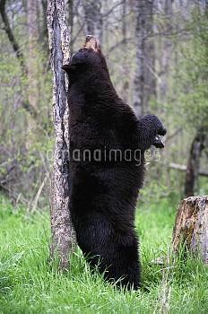 Black Bear (Ursus americanus) rubbing against tree, Alaska