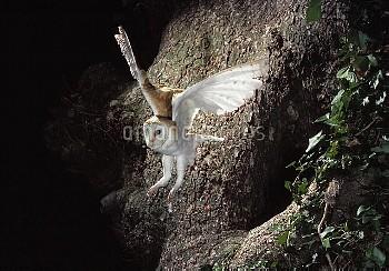 Barn Owl (Tyto alba) flying from nest cavity