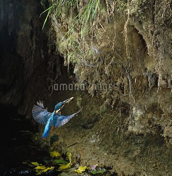 Common Kingfisher (Alcedo atthis) approaching nest cavity with fish prey