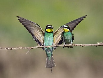 European Bee-eater (Merops apiaster) presents prey item to potential mate, Bulgaria