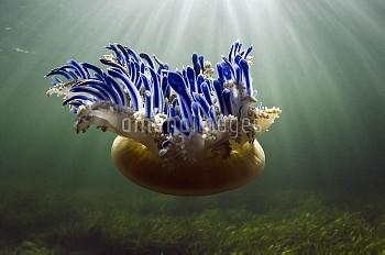Upside-down Jellyfish (Cassiopea sp), Jardines de la Reina National Park, Cuba