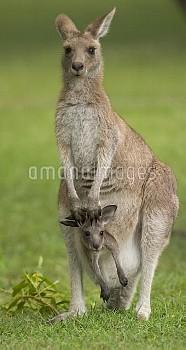 Eastern Grey Kangaroo (Macropus giganteus) female with joey in her pouch, Yuraygir National Park, Ne