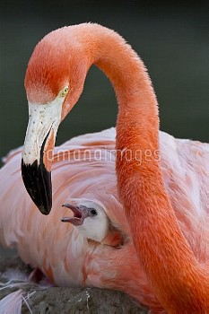 Greater Flamingo (Phoenicopterus ruber) with chick, native to Africa, Asia, and Europe