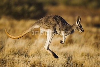 Red Kangaroo (Macropus rufus) female jumping, South Wales, Australia