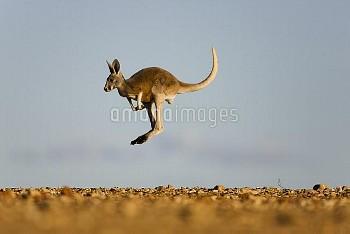Red Kangaroo (Macropus rufus) male joey jumping, Sturt National Park, New South Wales, Australia
