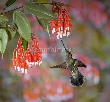 Green-fronted Lancebill (Doryfera ludovicae) hummingbird feeding on nectar of Heath (Psammisia colum